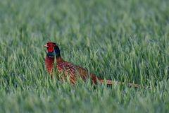 Pheasant cock in the grainfield, spring. Phasianus colchicus Stock Photo