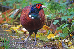 Pheasant Royalty Free Stock Image