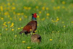 Pheasant cock with hen on the meadow, spring. Pheasant cock with hen on the flower meadow, spring, phasianus colchicus Stock Photography