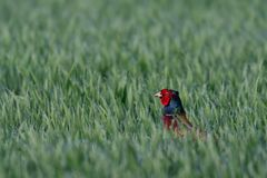 Pheasant look out of the field, spring royalty free stock images