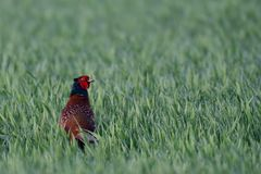 Pheasant cock look out of the grainfield, spring Stock Photo