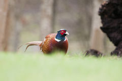 Pheasant Royalty Free Stock Photos