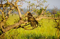 Pheasant Coucal Royalty Free Stock Images