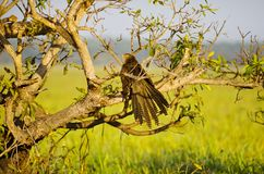 Pheasant Coucal Royalty Free Stock Photos
