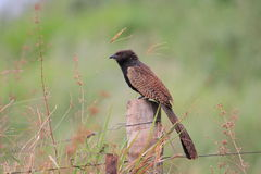 Pheasant Coucal Stock Photography