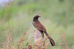 Pheasant Coucal Royalty Free Stock Photo