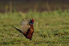 Pheasant Royalty Free Stock Images