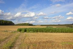 Pheasant cover maize crop Royalty Free Stock Images