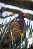 Pheasant in the daffodils Stock Images