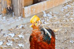 Pheasant decorative in a zoo.  stock images