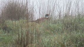 Pheasant disappearing into grasses Royalty Free Stock Photos