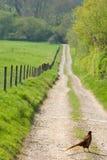 Pheasant in English Countryside. A pheasant walking across a path in the English countryside Royalty Free Stock Photo