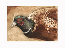 Pheasant etching Stock Images