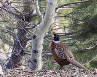 Common Pheasant Phasianus colchicus Royalty Free Stock Photo