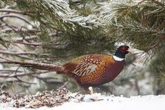 Common Pheasant Phasianus colchicus Stock Image