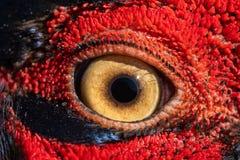 Pheasant eye close-up, macro photo, eye of the Ringnecked pheasant male, Phasianus colchicus royalty free stock image