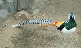 pheasant för amherstiaechrysolophusdiamant Arkivfoto