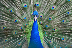 Pheasant för Lady Amherst s arkivfoton