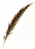 Pheasant  feather. Pheasant feather on white background Royalty Free Stock Photography
