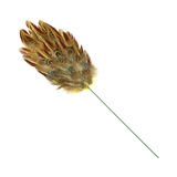 Pheasant feather duster Royalty Free Stock Images