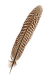 Pheasant feather. Isolated on white Stock Image