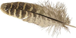 Pheasant feather. Vector illustration - beige pheasant feather isolated on white background royalty free illustration