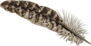 Pheasant feather Stock Photos