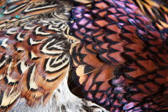 Pheasant feathers. A closeup of pheasant feathers Royalty Free Stock Image