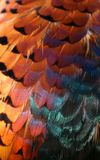 Pheasant feathers. Beautiful, iridescent pheasant feathers Royalty Free Stock Images