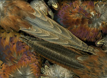 Pheasant Feathers Stock Photography