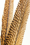 Pheasant feathers extreme close up Royalty Free Stock Images