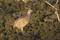 Pheasant female Stock Images