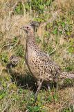 Pheasant female bird with juvenile Stock Photography
