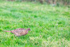 Pheasant female bird standing in grassland Royalty Free Stock Image
