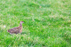 Pheasant female bird standing in grassland Stock Images