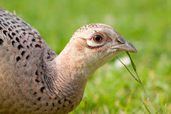 Pheasant Female Chewing blade of Grass Royalty Free Stock Images