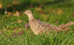 Pheasant female detail Stock Photography