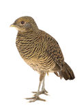Pheasant female gold Royalty Free Stock Images