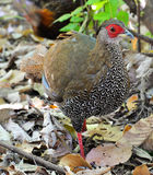 Pheasant female Royalty Free Stock Photo