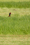 A pheasant in a field stock images