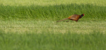 A pheasant in a field Royalty Free Stock Photography