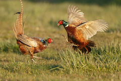 Free Pheasant Fighting Stock Images - 52424944