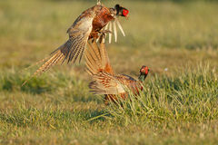Pheasant fighting Stock Photos
