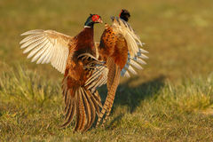 Pheasant fighting. In the spring during mating season stock photo