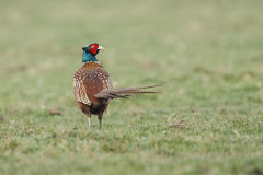 Pheasant fighting Stock Image