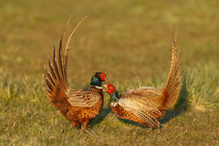 Pheasant fighting Royalty Free Stock Photos
