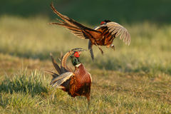 Pheasant fighting Royalty Free Stock Images