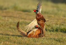 Pheasant fighting. In the spring during mating season Stock Images