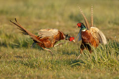 Pheasant fighting royalty free stock photography