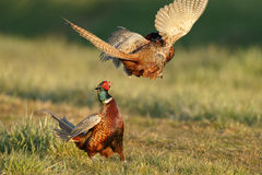 Pheasant fighting Stock Photography